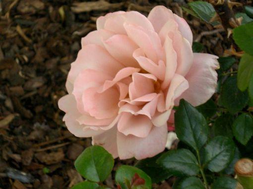 rose 07Oct13