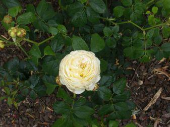 rose 21Oct13