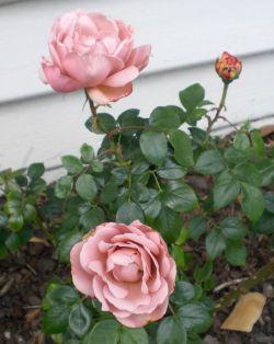 roses 20Oct13