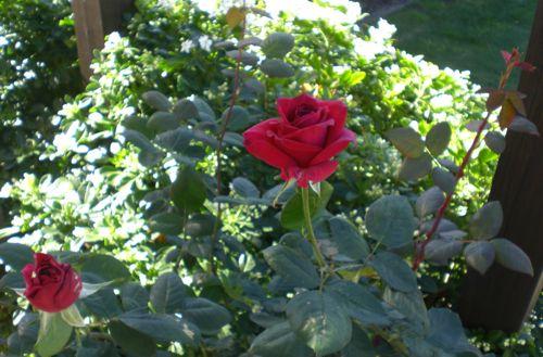 roses 27Apr14