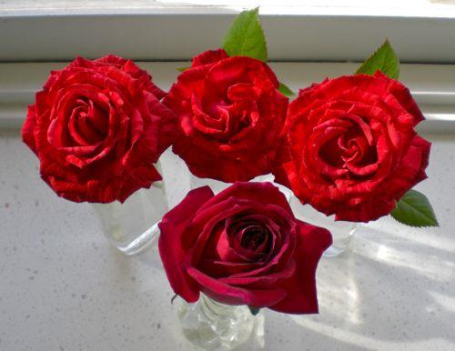 roses 11Jun14